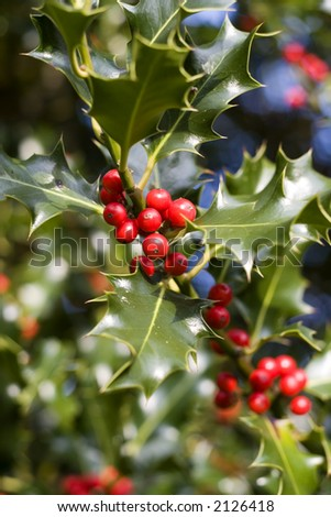 Red berries from a holly tree - stock photo
