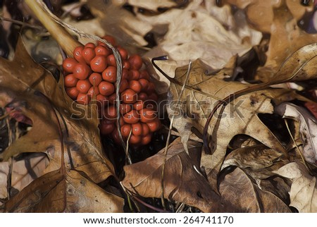 Red Berries From a Jack in the Pulpit in a Patch of Fall Leaves - stock photo