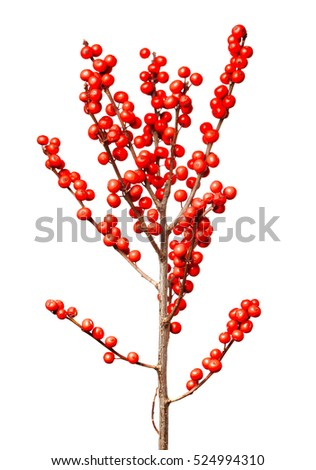 Red berries holly isolated on white background