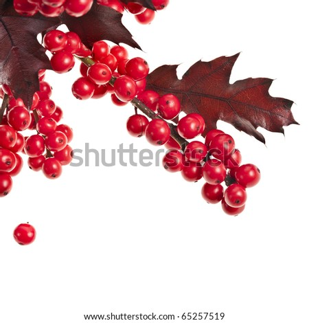 red berries holly with oak leaves isolated on white - stock photo