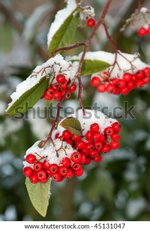 Red berries in the snow - stock photo