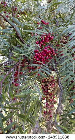 Red Berries of California drought-tolerant Pepper tree hanging from slim twigs - stock photo