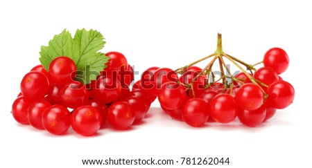 Red berries of Viburnum (arrow wood) with green leaf isolated on white background