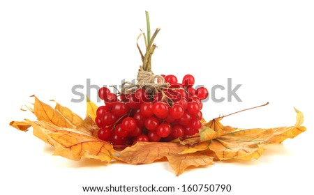 Red berries of viburnum on yellow leaves isolated on white