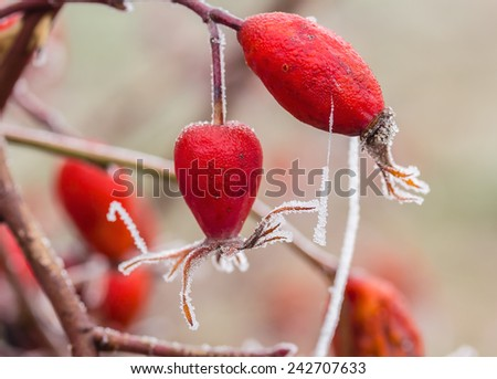 Red berries of wild rose with white hoarfrost on a foggy winter day, macro. The background is blurred