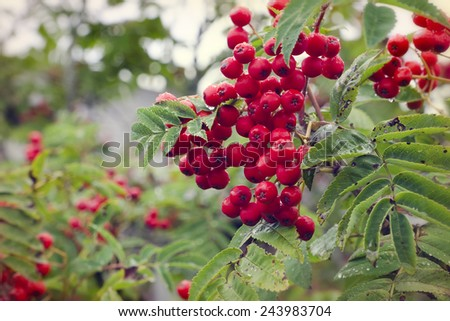 Red berries on rowan tree in the autumn with dorps of water after rain. - stock photo