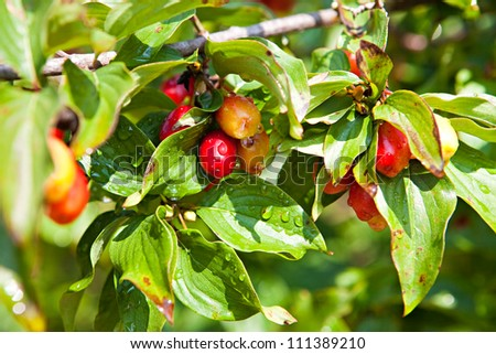 Red berries on the dogwood branch - stock photo