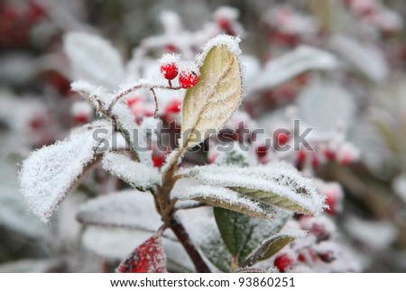 Red berries on the leaf covered by rime frost in Piedmont, Northern Italy. - stock photo