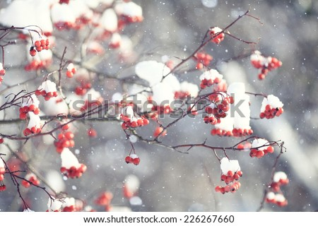 red berries under snow, snow, background, mountain ash, hawthorn - stock photo