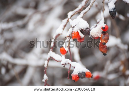 Red berries,winter nature with a snowfall,cosy winter photo to Christmas - stock photo