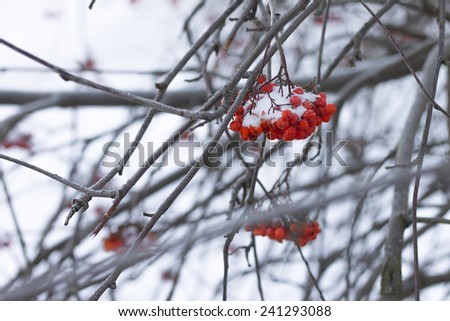 red berries with snow on a twig, frozen rowan berries in winter - stock photo