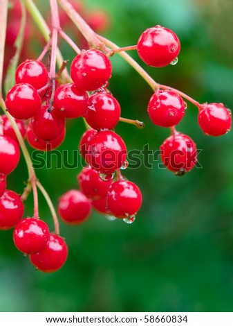 red berries with water drops over green closeup. shallow dof - stock photo