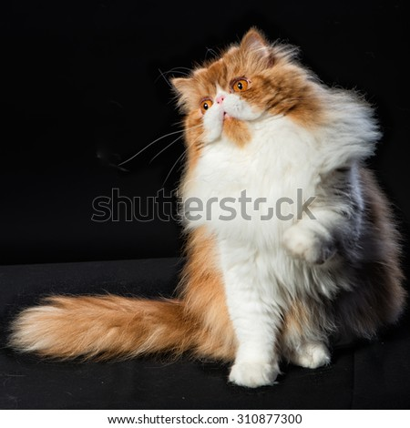 Red big adult persian cat costs on a black background