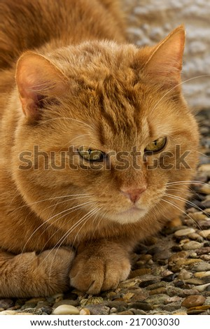 red big cat red big cat lying on the ground outdoor  - stock photo
