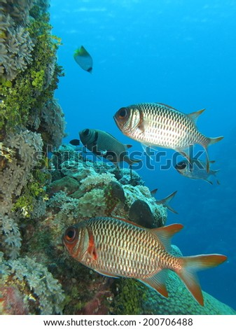 Red Big-eye fish around the beautiful reef. Micronesia, Yap, Pacific ocean.