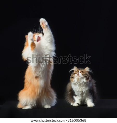 Red big persian cat and dark little kitten