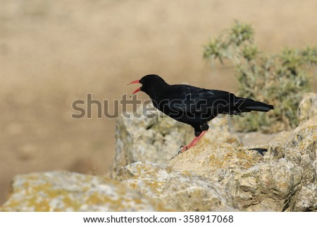 Red-billed Chough Pyrrhocorax pyrrhocorax  - stock photo