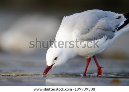 Red-billed Gull (Larus novaehollandiae) foraging on beach. - stock photo