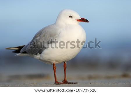 Red-billed Gull (Larus novaehollandiae) standing on beach. - stock photo