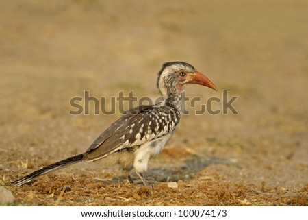 Red-billed hornbill in late afternoon sunlight; Tockus erythrorhynchus