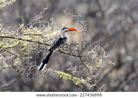 Red billed Hornbill perched in a tree - stock photo