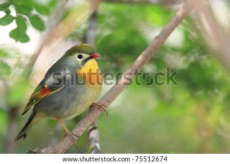 red-billed leiothrix, chinese nightingale - stock photo