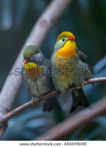 Red-billed Leiothrix (Peking robin) - stock photo