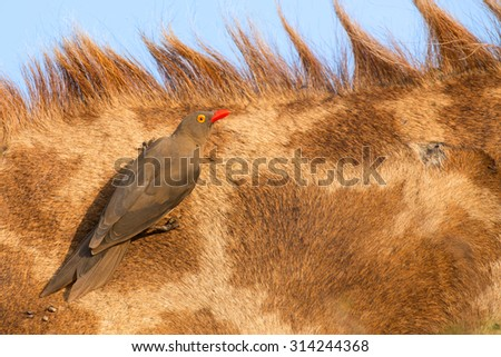 Red billed ox-pecker sitting on a giraffe neck hinting for some insects - stock photo
