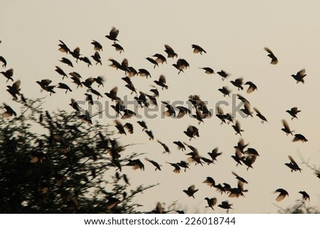 Red Billed Quelea - African Wild Bird Background - Flock of feathers and Flutter of wings