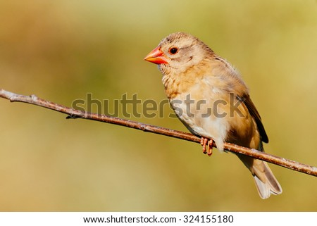 Red-billed Quelea on a branch against a green background