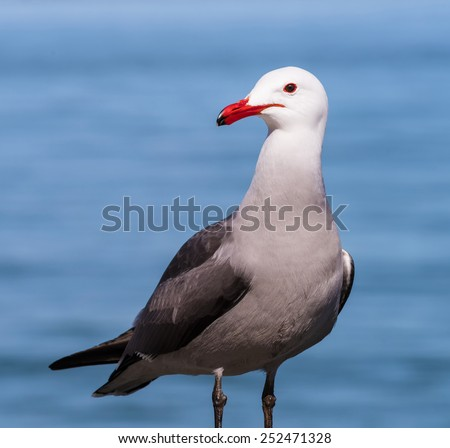 Red Billed Seagull  - stock photo