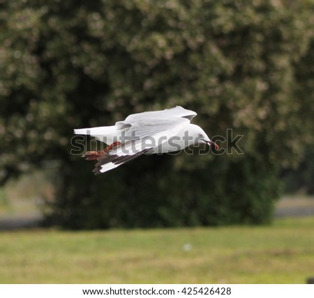 Red-billed seagull (Larus novaehollandiae) soaring nearby - stock photo