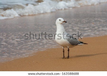 red-billed seagull standing  on sandy beach - stock photo