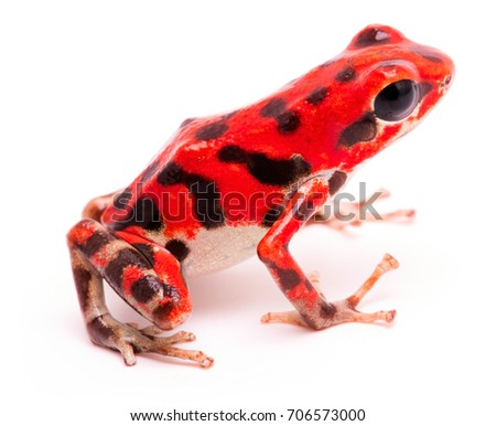 Red black spotted strawberry poison dart frog. Tropical poisonous rain forest animal, Oophaga pumilio isolated on a white background.