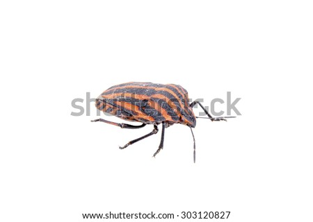 Red black stripe sloe bug isolated on a white background