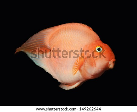 Red Blood Love Parrots fish isolated on Black - stock photo