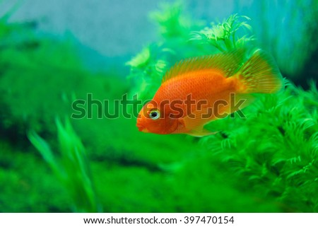 Red Blood Parrot Cichlid in aquarium plant green background. Goldfish, funny orange colorful fish - hobby concept - stock photo
