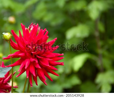 Red blooming dahlia - stock photo