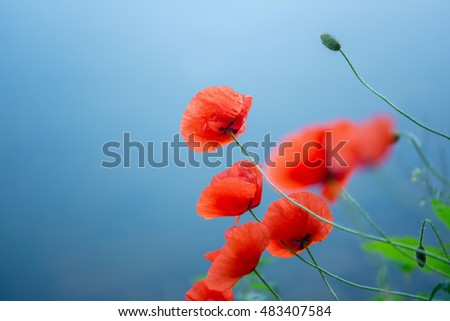 red blooming field poppies on a blue background
