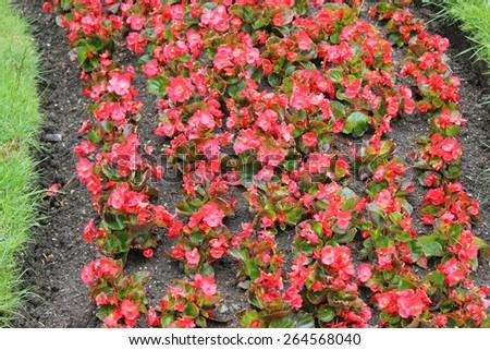 Red blooming flowerbed flowers 7898 - stock photo