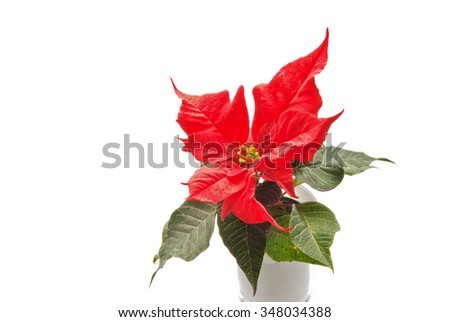 Red blooming poinsettia in white flowerpot isolated on white    - stock photo