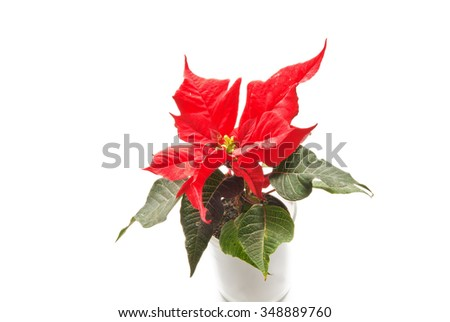 Red blooming poinsettia in white flowerpot isolated on white background    - stock photo