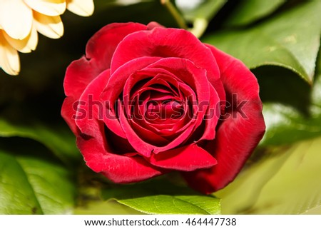 Red blooming rose in the garden. Beautiful noble rose flower with delicate petals.