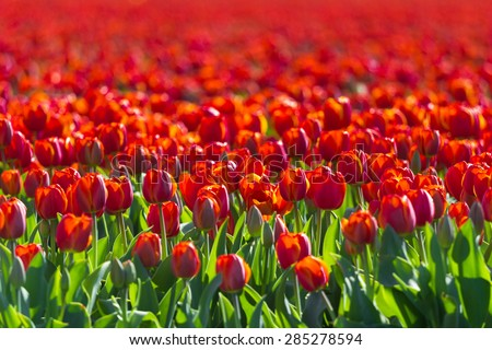 Red blooming Tulip Flower field soft focus in Spring - stock photo