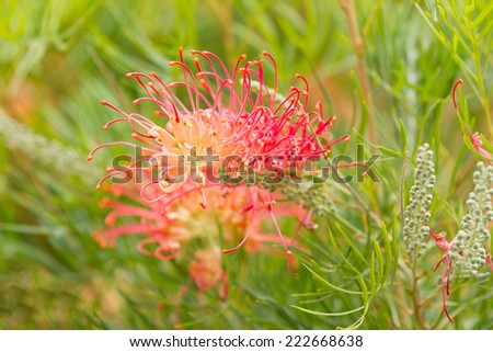 Red Blossom of the Grevillea plant - stock photo