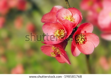 Red blossoming quince flowers against green, shallow depth of field - stock photo