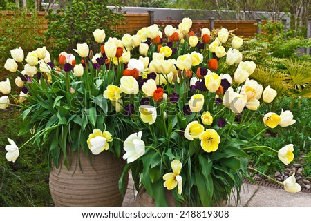 Red, blue and golden tulips in large ceramic planters on a flagged flagged patio. - stock photo
