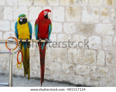 red, blue and yellow parrots standing on a stick