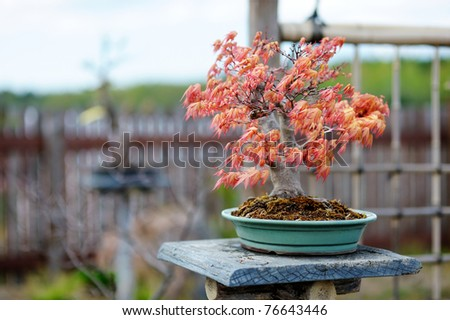 Red bonsai tree at a japanese garden - stock photo