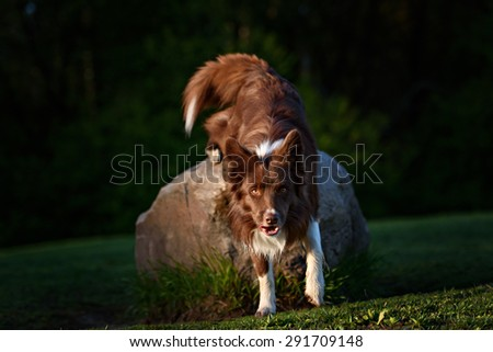 Red border collie dog in a meadow, summer - stock photo